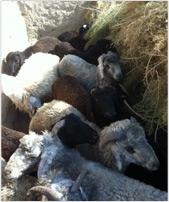 Sheep Farming - Procurement of the Wool